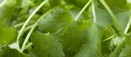 Grandes propiedades curativas del cilantro - sanasana.com