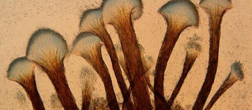 El hongo: Ophiostoma floccosum