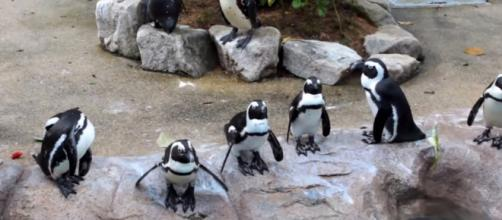 These penguins are always ready for a special event in their black and white suits. Image via: Gaurav Ail /YouTube Screenshot