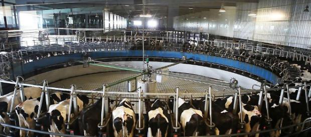 Il latte europeo sta mandando sul lastrico gli agricoltori africani