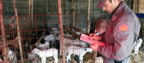 Controlli di Pasqua dei carabinieri forestali: multata una macelleria a Nola