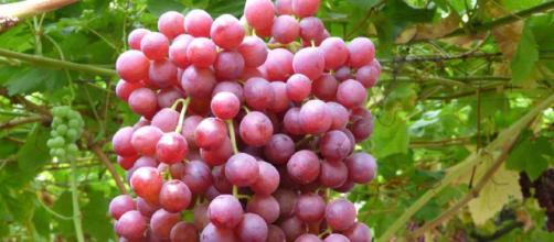 Las propiedades nutricionales de las uvas son de gran beneficio para nuestra salud