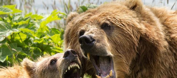 el oso Pardo? | ¿Cuánto vive? - cuantoviveun.com