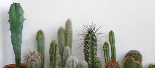 Consejos para el cuidado de cactus caseros