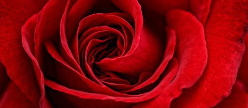 Red Rose Flower · Free photo on Pixabay - pixabay.com