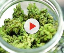 Cannabis terapeutica in farmacia: si prevede un boom di prenotazioni, i dettagli da sapere