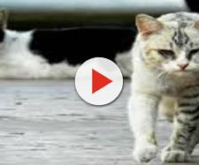 Los gatos con hábitos callejeros son más propensos a infectarse con el virus