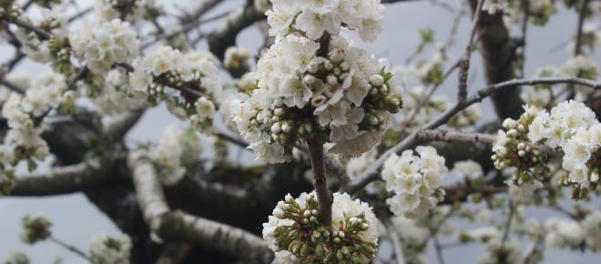 La floración de los cerezos en el Valle del Jerte durante la primavera