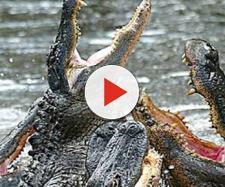 In Messico uno stupratore rischia di essere divorato da due coccodrilli