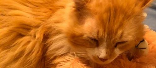 Un gato caminó 19 kms para volver a su hogar con un final desafortunado