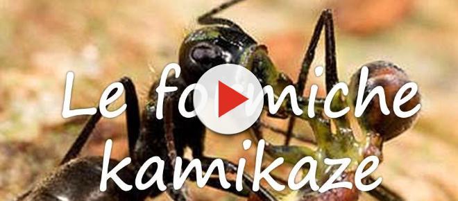 Formica kamikaze, incredibile scoperta: esplode per uccidere il nemico