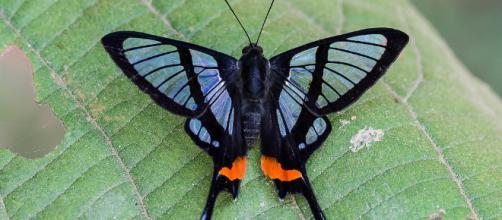 Farfalla del genere Chorinea, dalle caratteristiche ali trasparenti