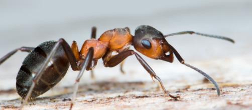 Ufficializzata la scoperta della formica kamikaze del Borneo