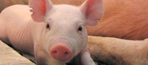 Vivirías con un corazón de cerdo? Podría ser la alternativa a la ... - elespanol.com
