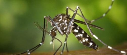 Este se encuentra entre las 100 especies invasoras más dañinas del mundo según la Unión Internacional para la Conservación de la Naturaleza