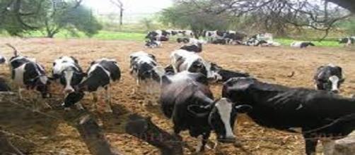 La brucelosis bovina es una de enfermedad que afecta la economía y la salud pública a nivel mundial