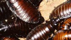 China alarma creando miles de millones de cucarachas con inteligencia artificial