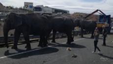 Elefantes sueltos cortan una autopista tras un accidente