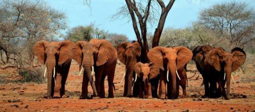 55 elefantes mueren cada día por la caza furtiva motivada por redes clandestinas de comercio