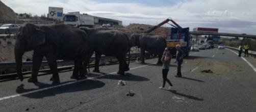 Vehículos retenidos en la A-30 debido a los elefantes sueltos por la calzada. (Bomberos AB)