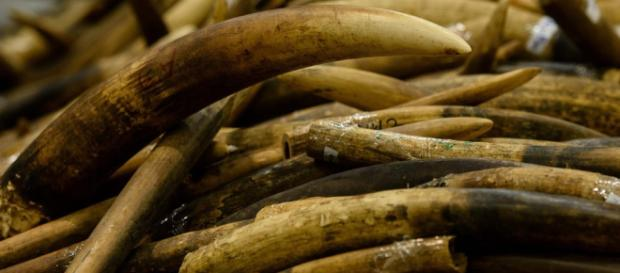 Colmillos confiscados de los cazadores furtivos