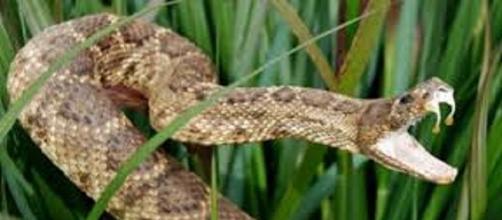 Armadas con potentes armas para la cacería, las serpientes son excelentes depredadores