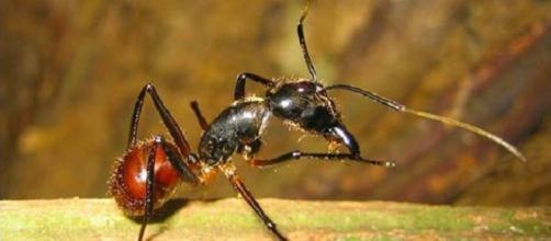 Formiche che esplodono. Nuova scoperta dei ricercatori