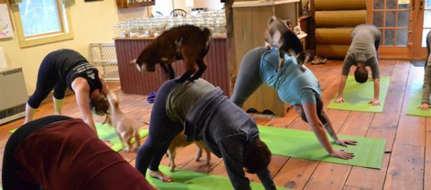 Yoga con crías de cabra, la última moda en meditación - Cultura - culturainquieta.com