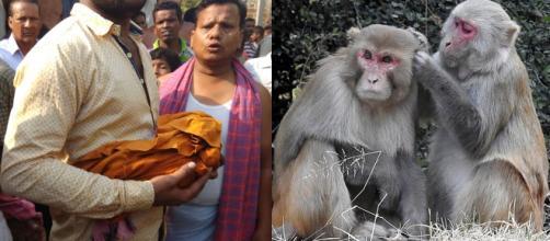 Recém-nascido acabou morrendo após ser raptado por um macaco da espécie Rhesus (foto ilustrativa à direita) na Índia