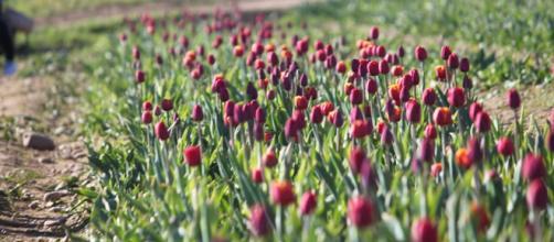 Tulipani Italiani- Foto di Emanuele Barra