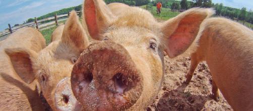 Experimento con cerdos decapitados y la disyuntiva ética sobre el método