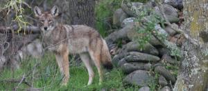 Coyote in California (Image credit – Steve Thompson, Wikimedia Commons)