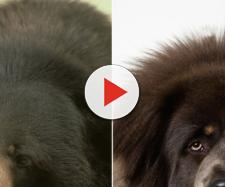 Cina, scambia orso per un cane