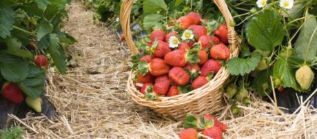 Las fresas de Huelva que son recogidas por inmigrantes en condiciones muy sospechosas, según la Prensa alemana.