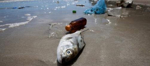 Come la micro-plastica contamina il pesce che mangiamo ... - greenreport.it
