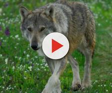 Lupo (canis lupus italicus), le ultime notizie