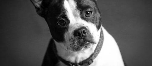 La Piometra en la perra: un trastorno reproductivo que puede causar la muerte