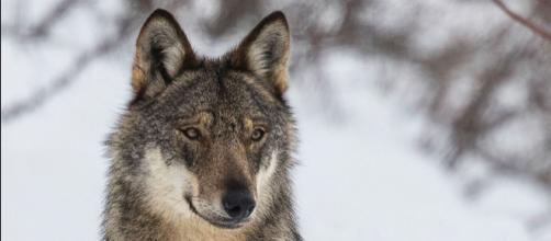 Le loup, espèce connue et pourtant mourante