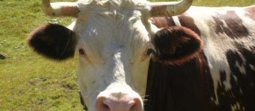Verde di Roma: l'assessora rilancia e annuncia: 'arriveranno le mucche'