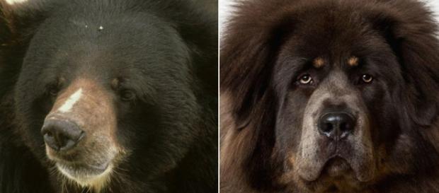In Cina una famiglia ha acquistato cucciolo di orso nero asiatico (a sinistra) credendo che fosse un mastino tibetano (a destra).