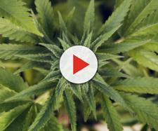 Cannabis ed epilessia: 9 cose da sapere - Panorama - panorama.it