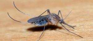 Female Culicine mosquito (Image credit – Alvesgaspar, Wikimedia Commons)