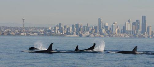 Una manada de orcas salvajes, Orcinus orca , nada en el Puget Sound, también conocido como el Mar Salish. (Seattle en el fondo.)