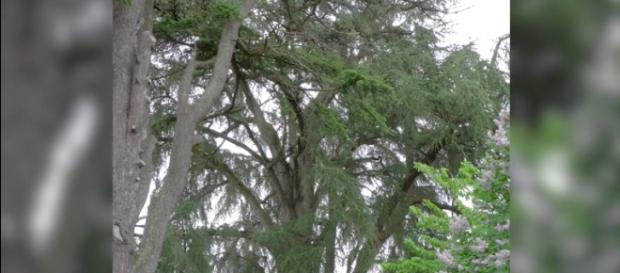 Le cèdre du Liban de Gençay, menacé d'abattage.