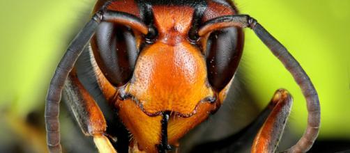 Primo piano del capo di un esemplare adulto di Vespa velutina