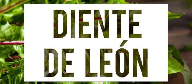 Beneficios del Diente de león (Taraxacum officinale)   Arsenal ... - arsenalterapeutico.com