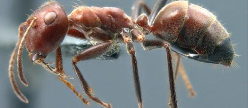 Colobopsis explodens: la nuova specie descritta su ZooKeys