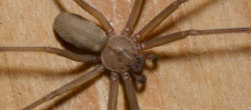 Esemplare di ragno eremita (Loxosceles reclusa)