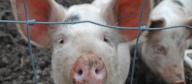 Pigs from the slaughter house were used - (Image credit -flickr thornypup)