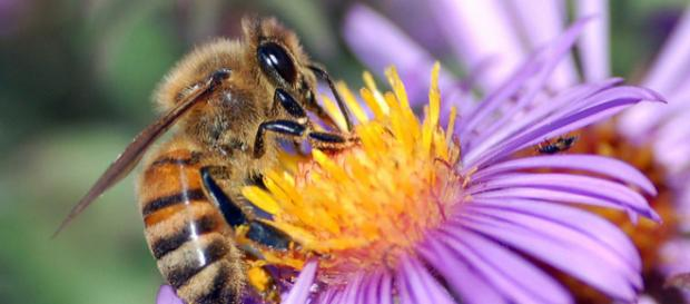 European honey bee extracts nectar (Image credit – John Severns, Wikimedia Commons)